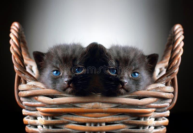 Två förtjusande svarta kattungar i korg royaltyfri fotografi