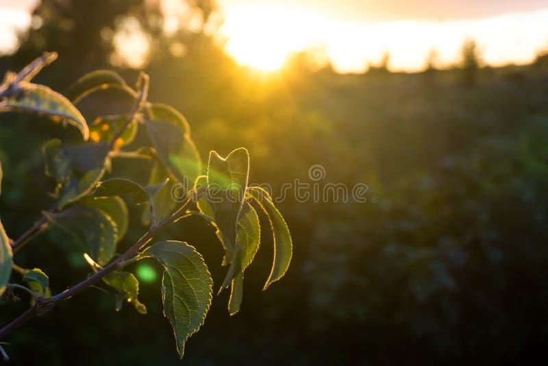 Två filialer av ett äppleträd på solnedgången i orange strålar med en suddig bakgrund arkivfoto
