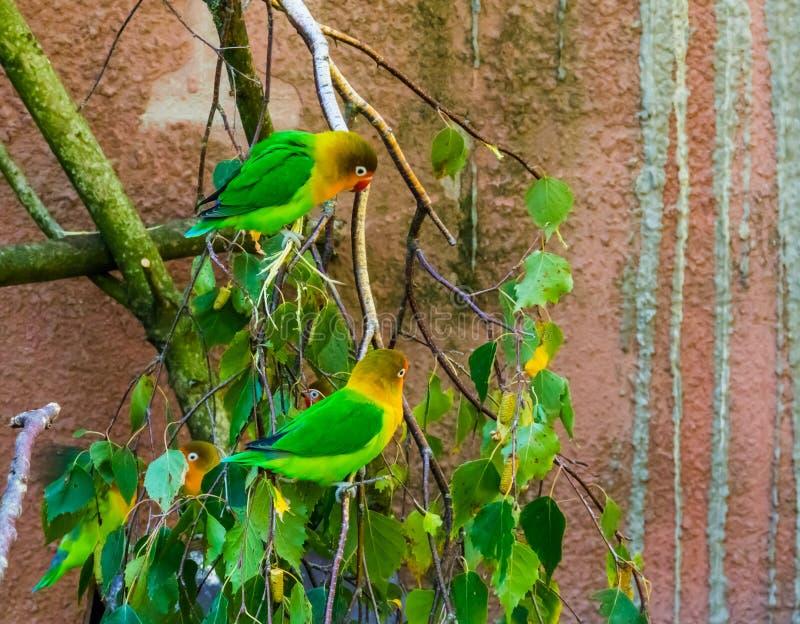 Två fischersdvärgpapegojor som tillsammans, tropiska och färgrika sitter på en trädfilial små papegojor från Afrika, popul royaltyfri bild