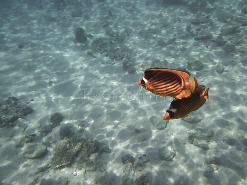 Två fisk-fjärilar i genomskinligt vatten av Röda havet arkivbild