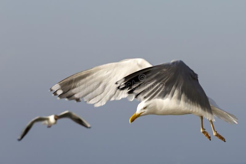 Två fiskmåsar i flyg royaltyfria bilder