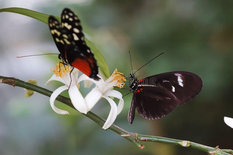 Två fjärilar arkivfoto