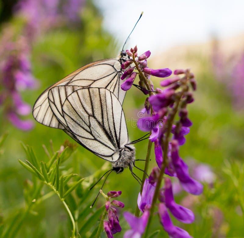 Två fjärilar gör förälskelse på en blå blomma arkivbilder