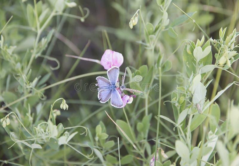 Två fjärilar som sitter på en blomma arkivbilder