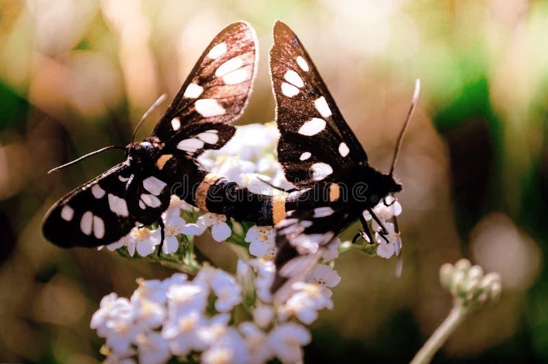 Två fjärilar som sitter på en vit blomma i processen av att para ihop royaltyfri foto