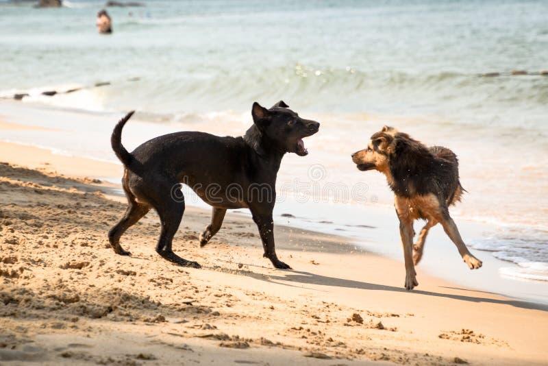 Två fluffiga hundkapplöpning som slåss på stranden arkivbilder