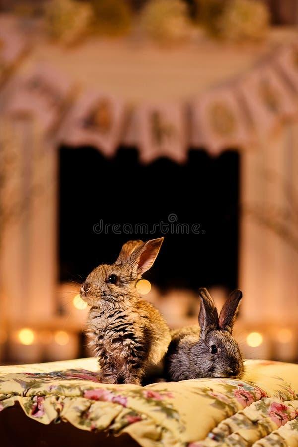 Två fluffiga kaniner i ett rum med en varm ligh för afton royaltyfri bild