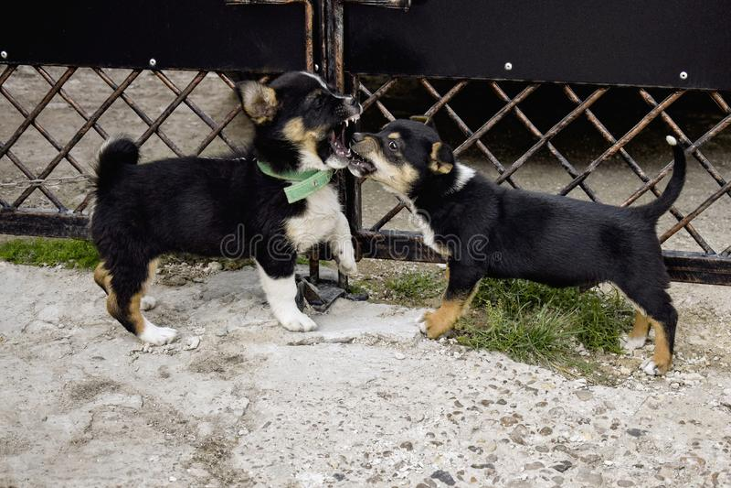 Två fluffiga skämtsamma valpar Rivalitetvalparna - spela som är utomhus- i gården nära metallporten Liten hundkapplöpning för kom royaltyfri foto