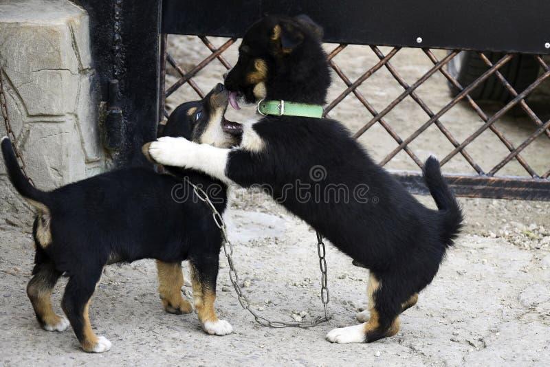 Två fluffiga skämtsamma valpar Roligt spela för valpar som är utomhus- i gården Komisk liten hundkapplöpning royaltyfri foto