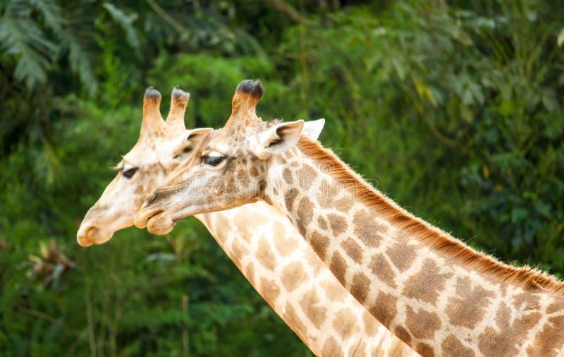 Två fotograferad sida för giraffGiraffa camelopardalis - vid - sida med deras långa halsar som är synliga mot en grön skog royaltyfri fotografi