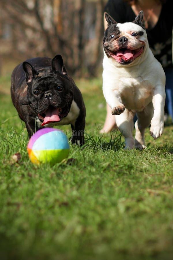 Två franska bulldoggar för lycklig hundkapplöpning som spelar bollen arkivfoto