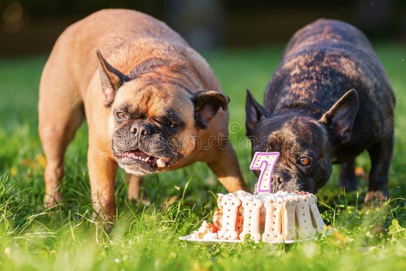 Två franska bulldoggar som äter från en födelsedagkaka arkivbild