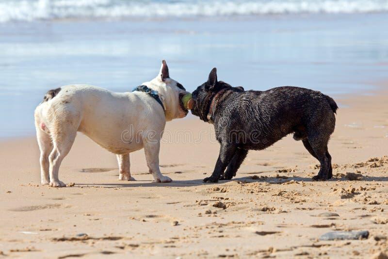 Två franska bulldoggar som spelar med en boll arkivfoto