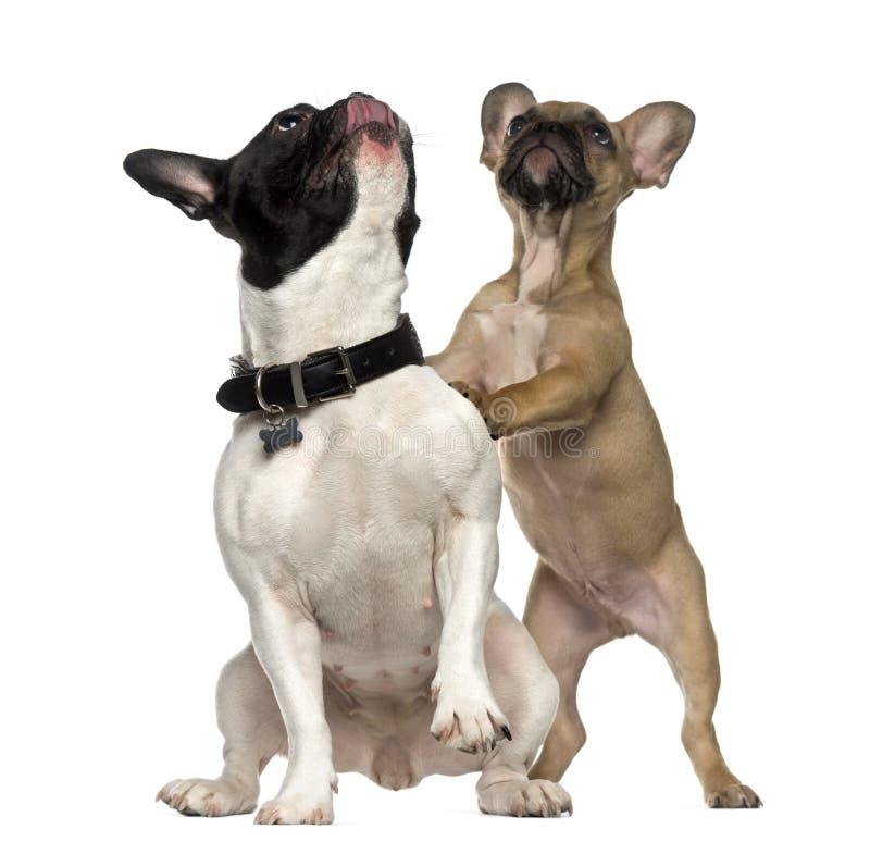 Två franska bulldoggar som står och ser upp royaltyfri fotografi