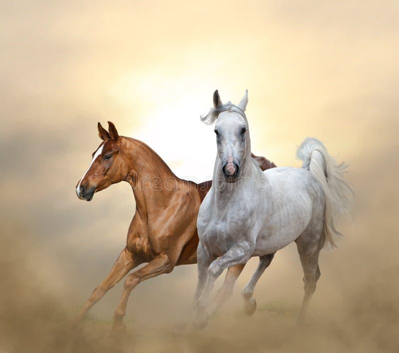 Två fullblods- hästar som kör i solnedgångtid royaltyfri foto