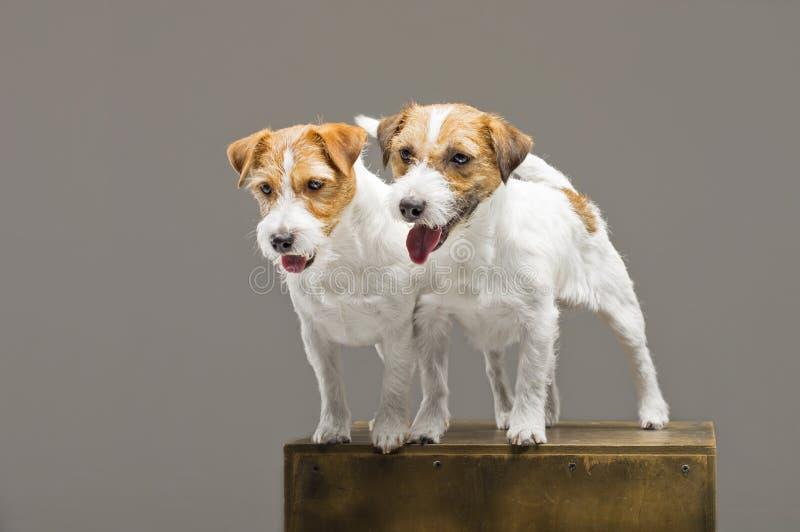 Två fullblods- stålar russell som poserar i en studio arkivbilder
