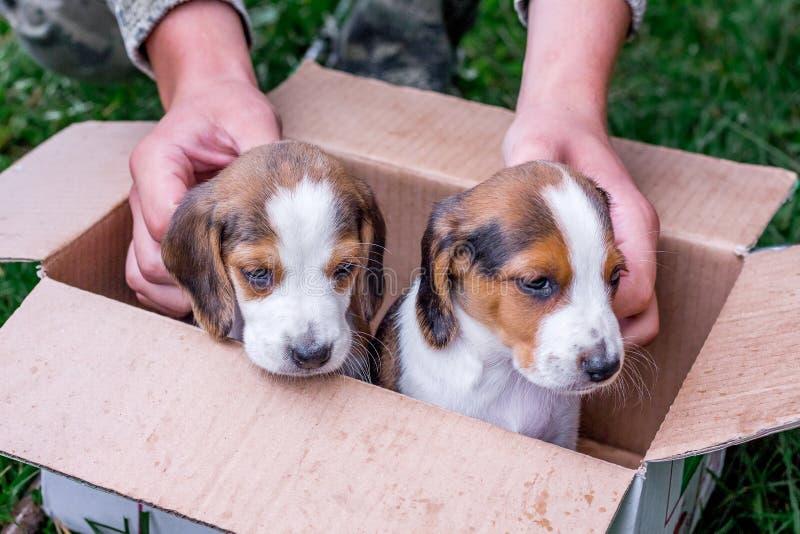 Två fullblods- valpar en estländsk hund i en kartong Bet arkivfoto