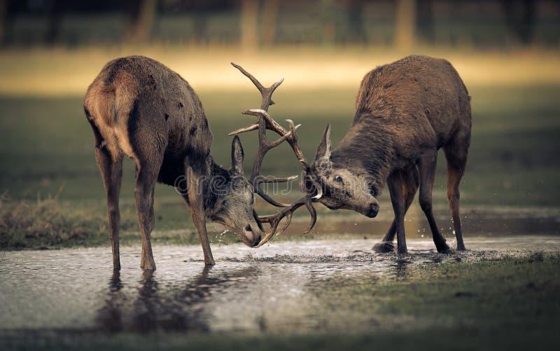 Två fullvuxna hankronhjortar för röda hjortar som är brunstiga på vatten fotografering för bildbyråer