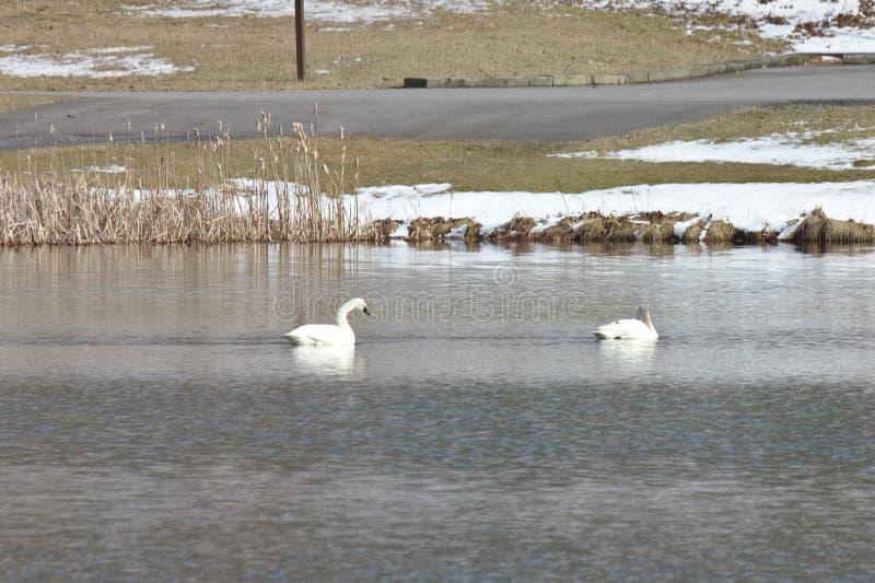 Två gäss på en lugna sjö i vinter fotografering för bildbyråer