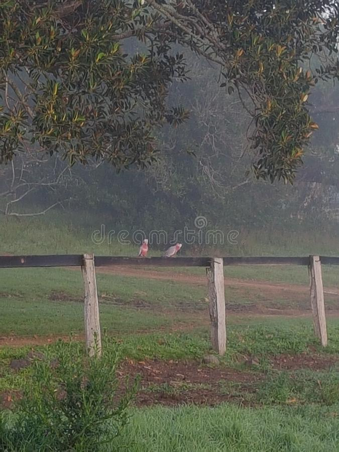 Två galahs på ett staket på en dimmig morgon i landet arkivfoton