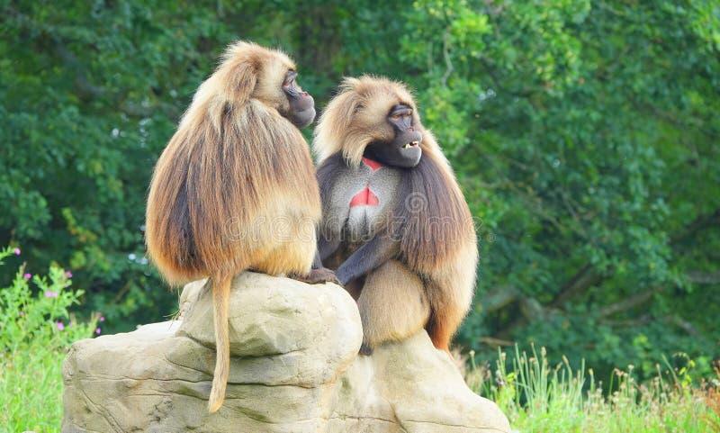Två Gelada apor som sitter på, vaggar royaltyfri foto