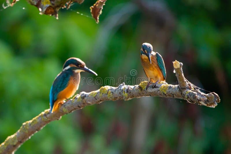 Två gemensamma europeiska kungsfiskare- eller Alcedoatthis som sätta sig på en pinne ovanför floden och jakt för fisk fotografering för bildbyråer