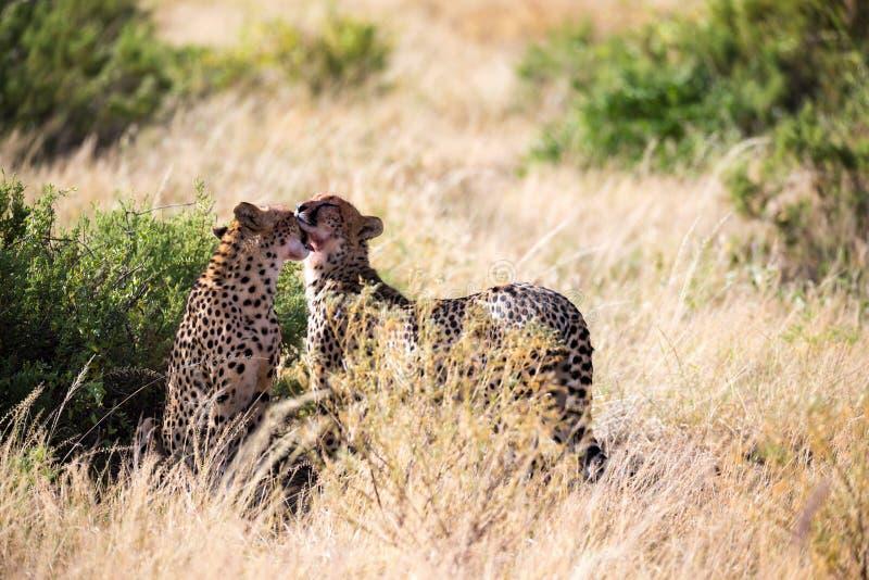 Två geparder borstar sig efter målet arkivbilder