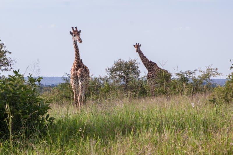Två giraff i afrikansk savann arkivfoton
