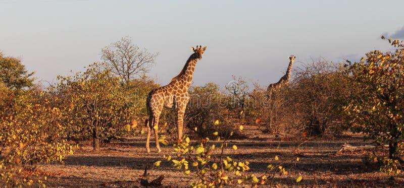 Två giraff i aftonljus som tas i busken Botswana royaltyfri foto