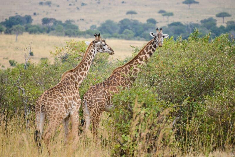 Två giraff nära busken fotografering för bildbyråer