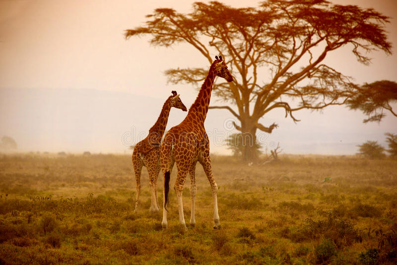 Två giraff, Nakuru Kenya royaltyfri bild