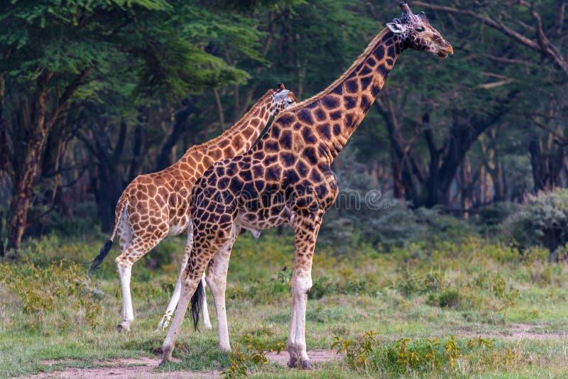 Två giraff på near skogNakuru region för sjö, Afrika arkivfoton