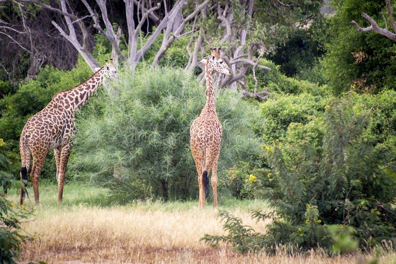 Två giraff som biter busken på en savann i Tsavo den västra reservationen arkivfoton
