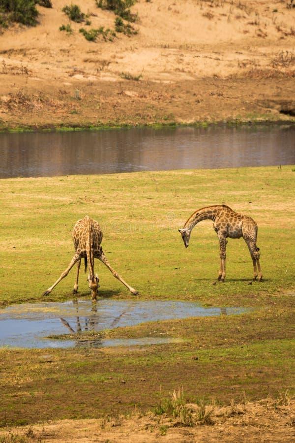 Två giraff som dricker på flodsäng, Sydafrika fotografering för bildbyråer