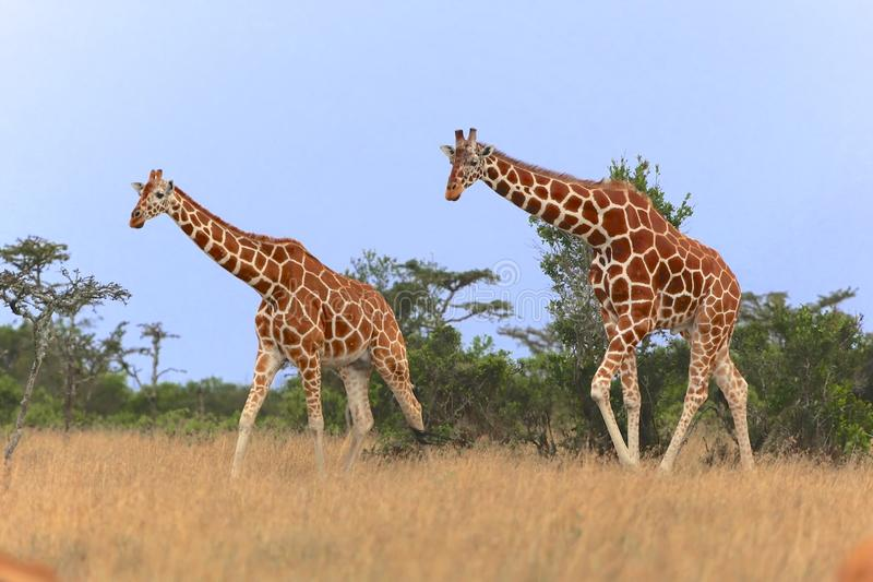 Två giraff som går i samburuen royaltyfri foto
