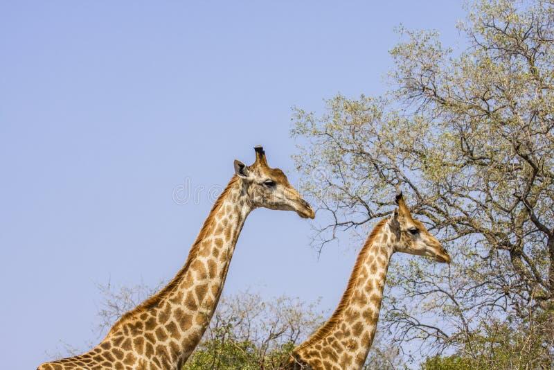 Två giraff som går i savannah, i Kruger, parkerar, Sydafrika arkivbilder