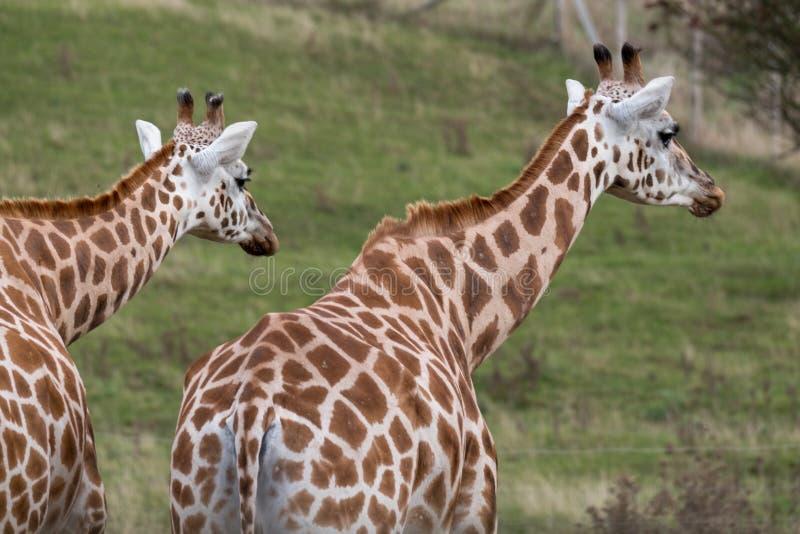 Två giraff som ser i den samma riktningen som fotograferas i port Lympne Safari Park på Ashford, Kent, UK arkivfoto