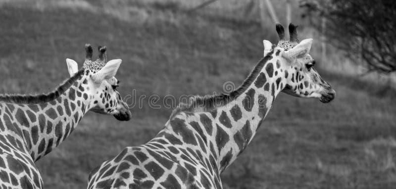 Två giraff som ser i den samma riktningen som fotograferas i port Lympne Safari Park på Ashford, Kent, UK royaltyfria foton