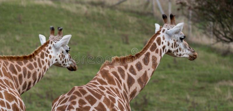 Två giraff som ser i den samma riktningen som fotograferas i port Lympne Safari Park på Ashford, Kent, UK arkivbild