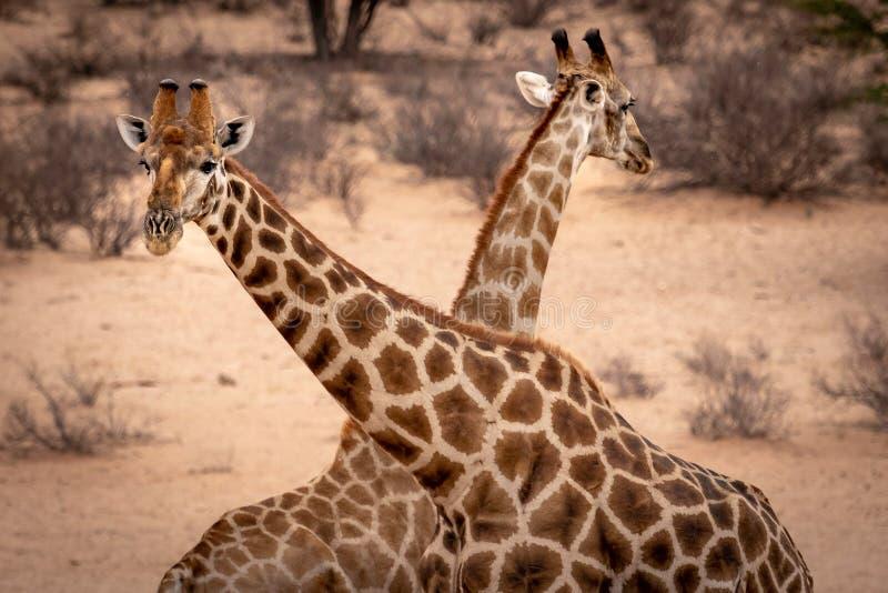 Två giraffhuvud korsade över fotografering för bildbyråer