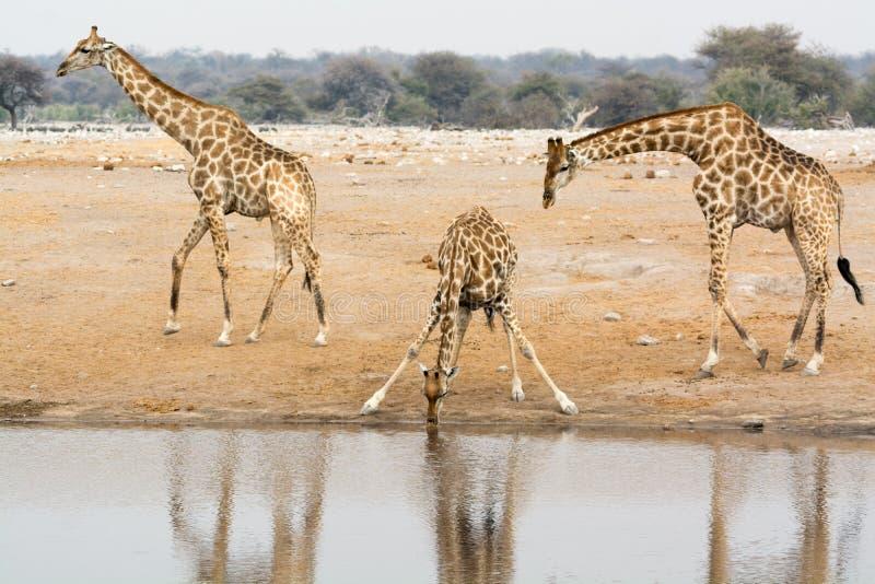 Två girafftjurar och en giraffko på waterhole arkivfoton