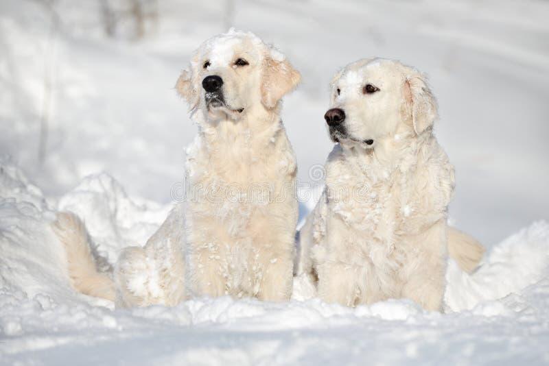 Två golden retrieverhundkapplöpning som sitter i snö royaltyfri fotografi