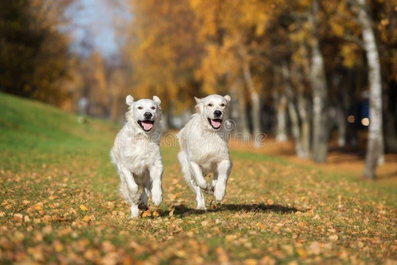 Två golden retrieverhundkapplöpning som utomhus kör i höst royaltyfria bilder