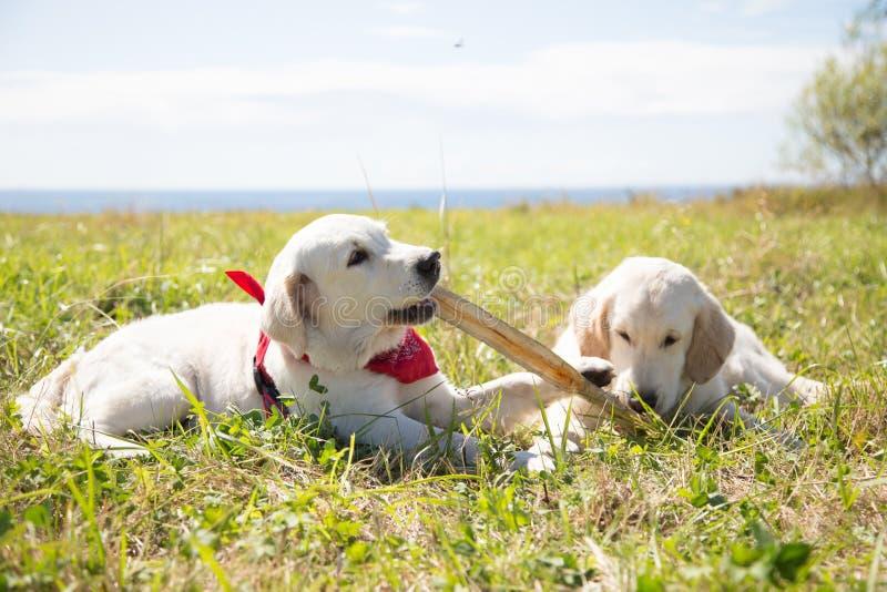 Två golden retrievervalpar som spelar med pinnen Två hundkapplöpning spelar på gräset på en havs- och himmelbakgrund fotografering för bildbyråer