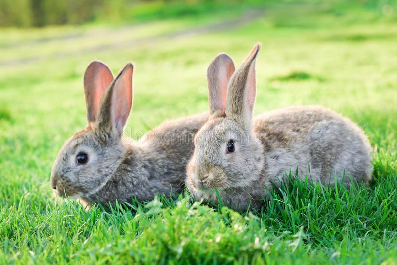 Två gråa kaniner i utomhus- grönt gräs royaltyfria foton