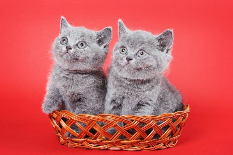 Två gråa kattungar av en brittisk katt arkivbilder