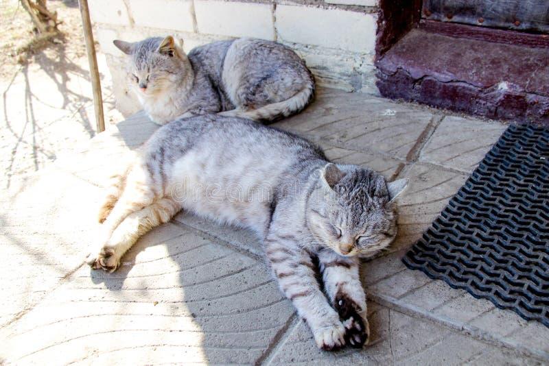 Två gråa randiga katter i solen Sikter av byn royaltyfri bild