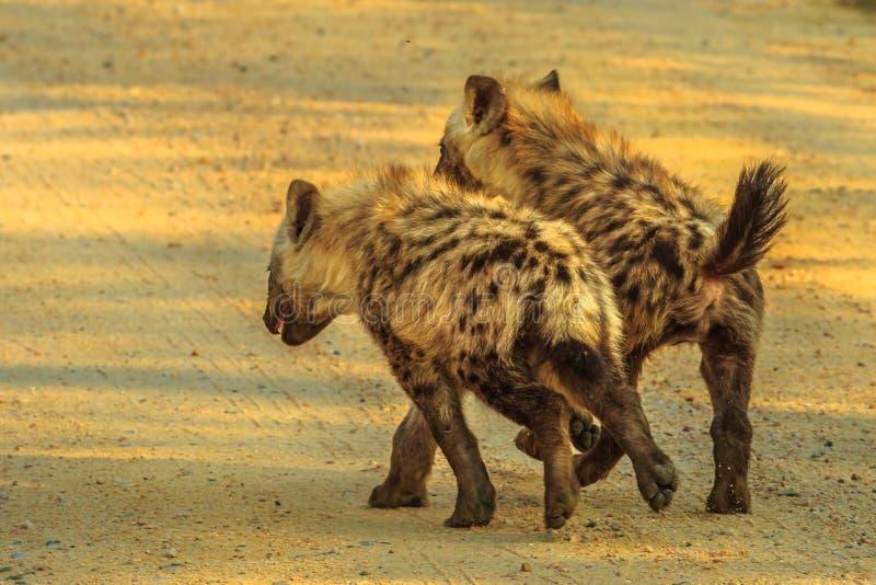 Två gröngölingar för prickig hyena royaltyfria bilder