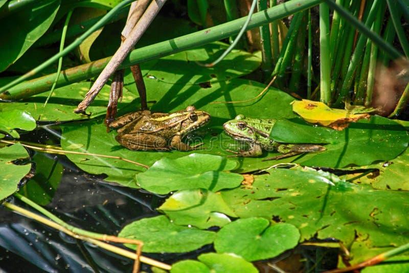 två grodor i naturen royaltyfri foto