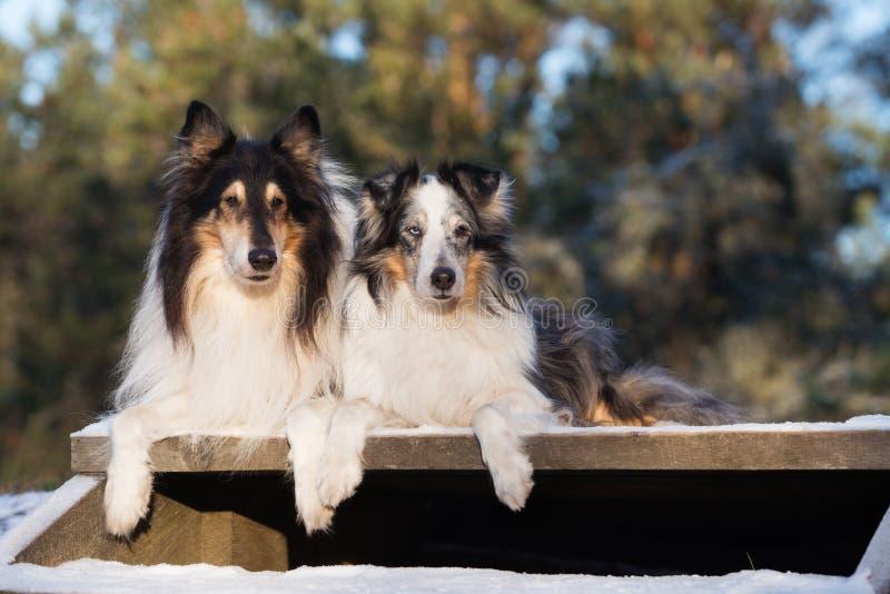 Två grova colliehundkapplöpning utomhus i vinter royaltyfri bild